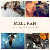Thor the Chocolate Lab - Malukah