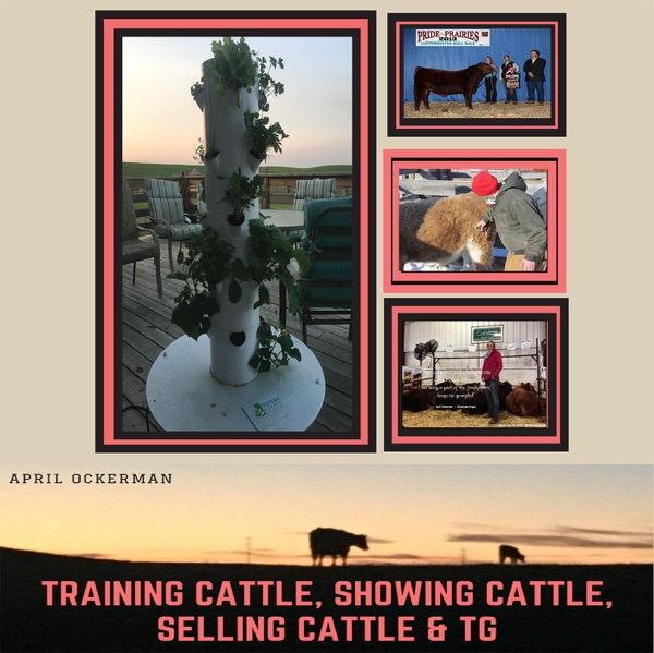 Training cattle, Selling cattle, Showing Cattle & TG
