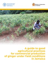 A Guide To Good Agricultural Practices For Commercial Production Of Ginger Under Field Conditions In Jamaica
