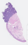 C's Histology Atlas