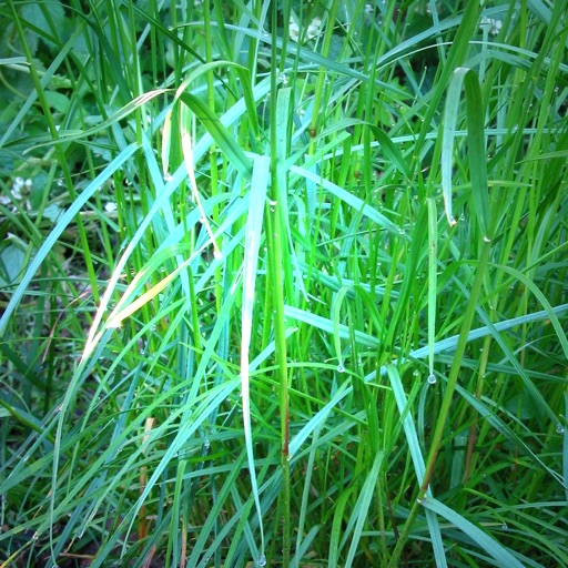 Grass Species: Types of Grass