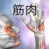 筋の解剖学