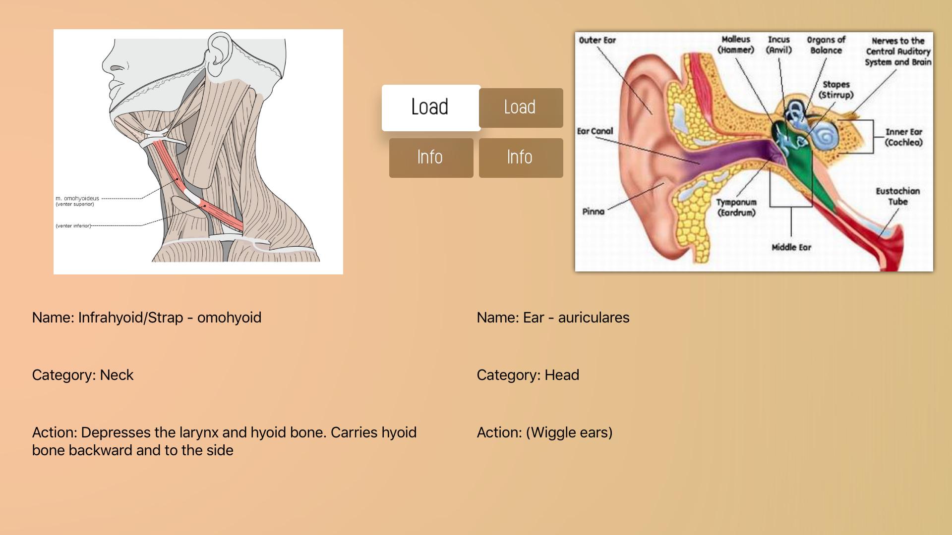Human Muscles Guide screenshot 18