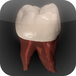 Real Tooth Morphology Free