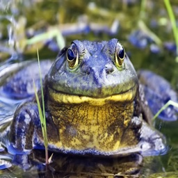 Bull Frog Sound Effects - The Best High Quality Sounds and Ringtones