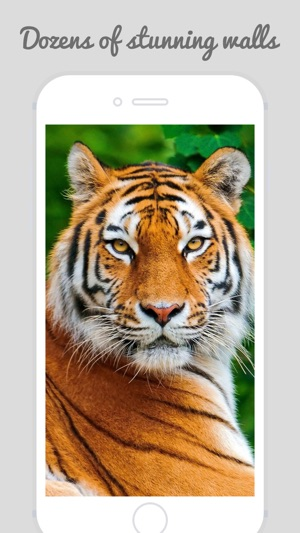 Tiger Wallpapers Best Animal Background On The App Store