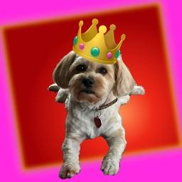 Princess Mocha The Yorkshon