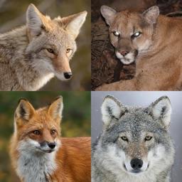 Coyote& Predator Hunting Calls