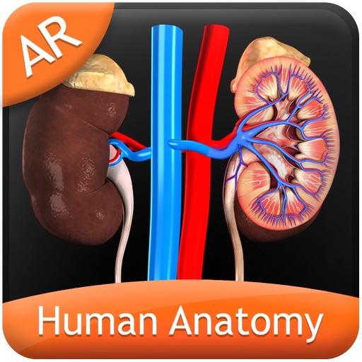 Human Anatomy - Urinary