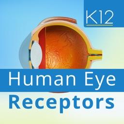 Human Eye Receptors