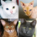 icone Chats : Photo-quiz sur chattes