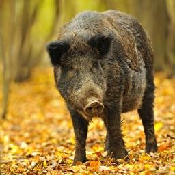 GA Feral Pig Damage