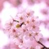 脱出ゲーム 春桜アイコン