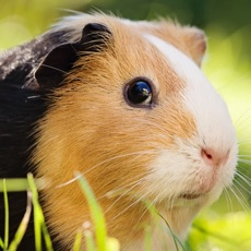 Activities of Guinea Pig Kids Jigsaw Puzzle