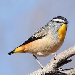 Australian Birds Sounds