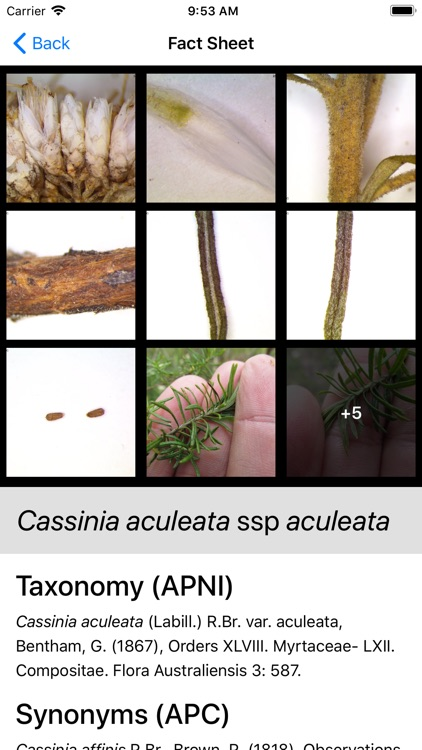 Key to the Cassinia group screenshot-3