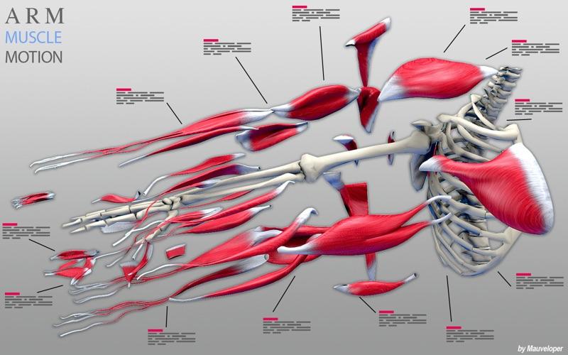 Arm Muscles Motion скриншот программы 5