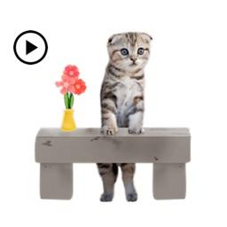 Animated Scottish Fold Cat