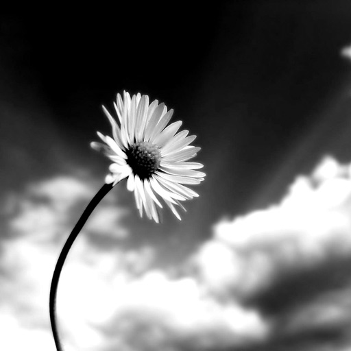 Black and white flowers hd quotes and art pictures by laivee so black and white flowers hd quotes and art pictures mightylinksfo