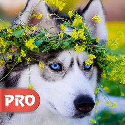 Husky Dog Wallpapers Pro - Best Dog Breed Ever