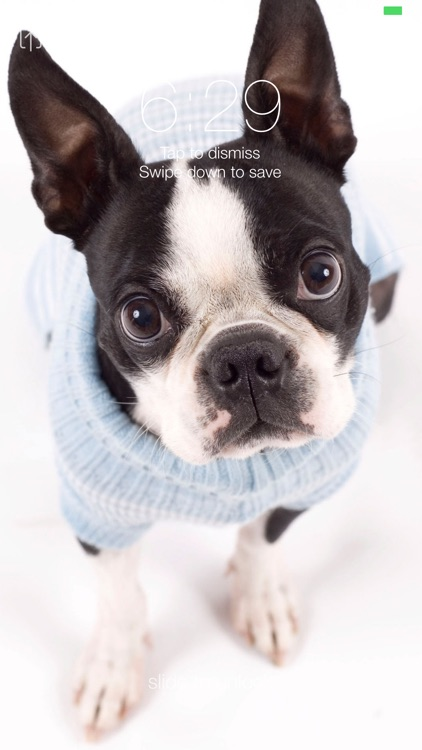 Boston Terrier Wallpapers Pro screenshot-2