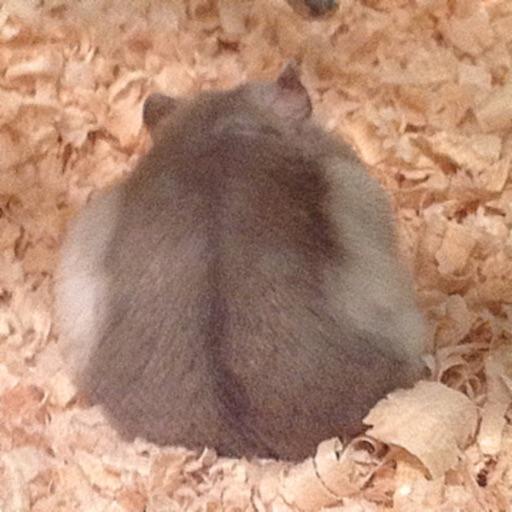 Hamster Memory Game