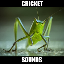 Crickets Sounds! Insect Sounds