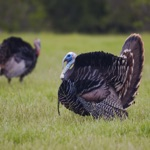 Turkey Hen-Tom Hunting Calls