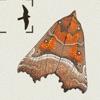 The Moths of Britain & Ireland - iPhoneアプリ