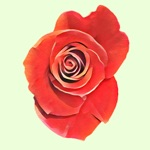 Rascal Roses