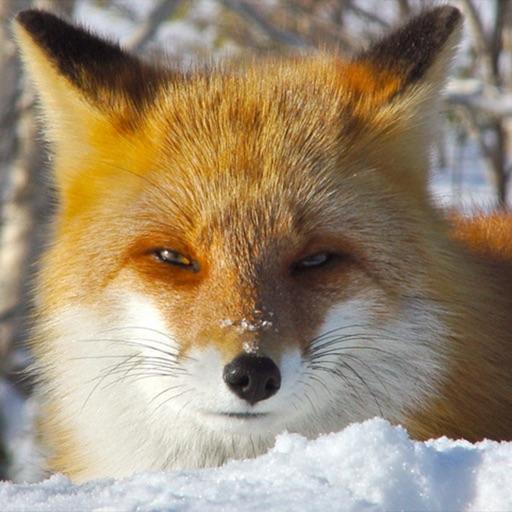 Cute Fox Healing Life