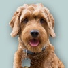 Goldendoodle Sticker Pack