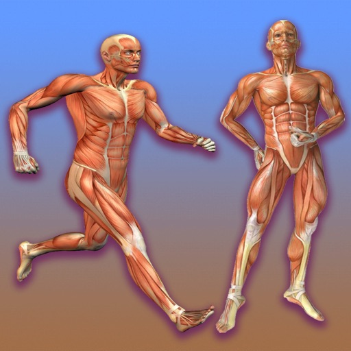 Learn Muscular System