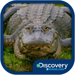 Discovery #MindBlown:Alligator