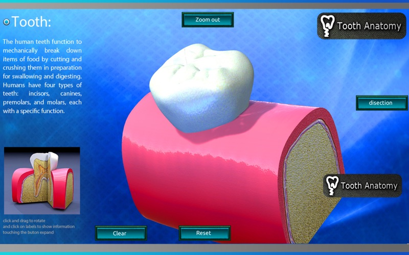 Tooth Anatomy скриншот программы 3