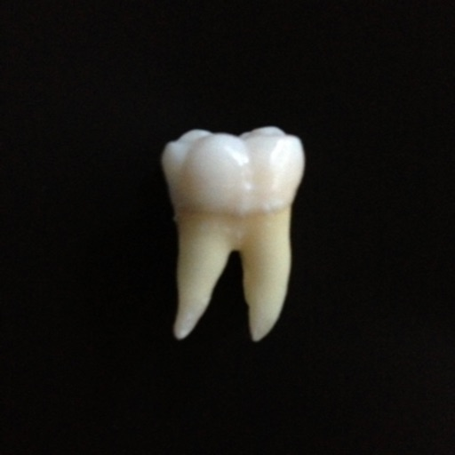 Tooth Morphology Exam preparation