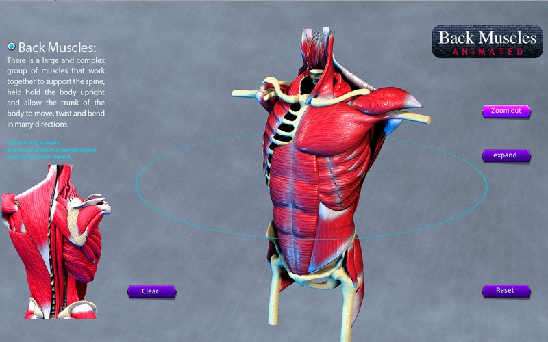 Back Muscles Animated скриншот программы 2