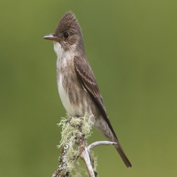 Flycatcher Bird Sounds and Ringtones Watchers