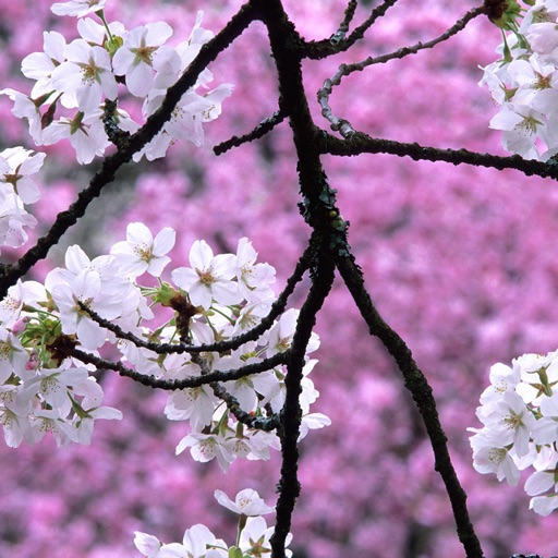 Sakura Wallpapers, Japanese Cherry Blossom Flowers