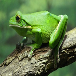 Frog Sounds - Over 90 High Quality Effects Ringtones and More