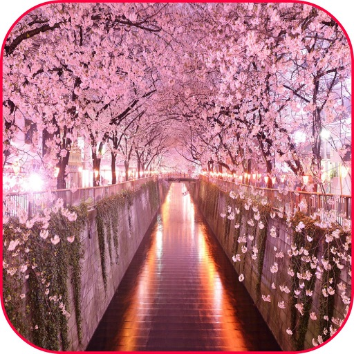 Sakura Flowers Cherry Blossom Wallpaper And Photo Frames