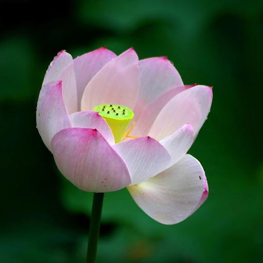 lotus pipe free puzzle game HD iOS App
