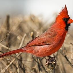 CHI Encyclopedia of Birds