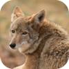 Coyote Hunting Calls!