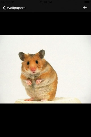 Hamster Wallpapers screenshot 2