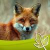 Fuchs Jagd
