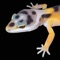 """LEOPARD GECKO PRO"" is a photographic reference guide to the genetic morphs of leopard geckos by the world's leading authority on this fascinating and diverse species of lizard"