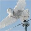 Owls Encyclopedia +