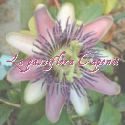 La Passiflora Caponii