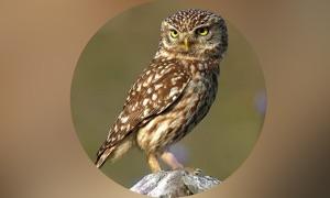 Owls Encyclopedia!